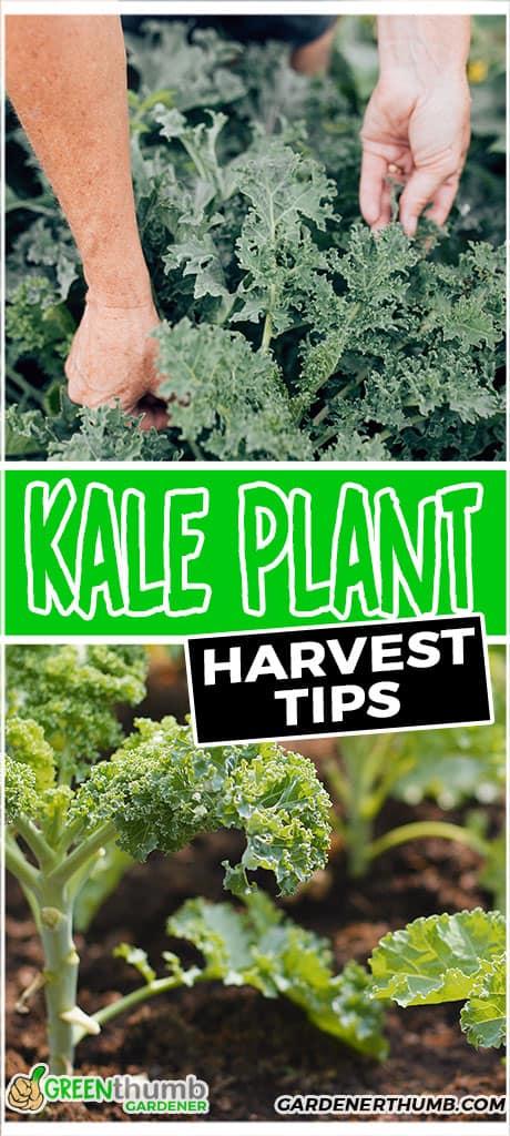 kale plant harvest tips