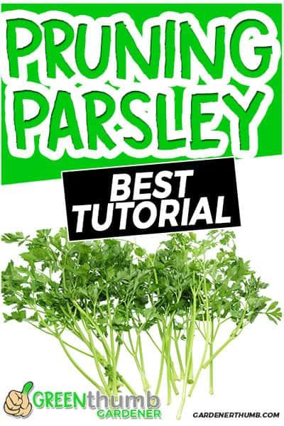 pruning parsley best tutorial