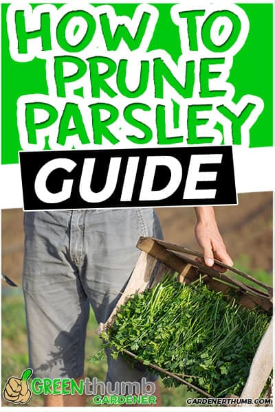 how to prune parsley guide
