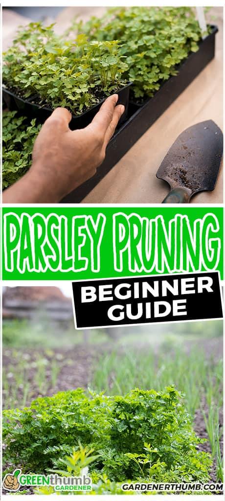 parsley pruning beginner guide
